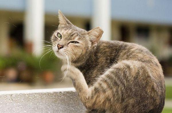 Кот свербить