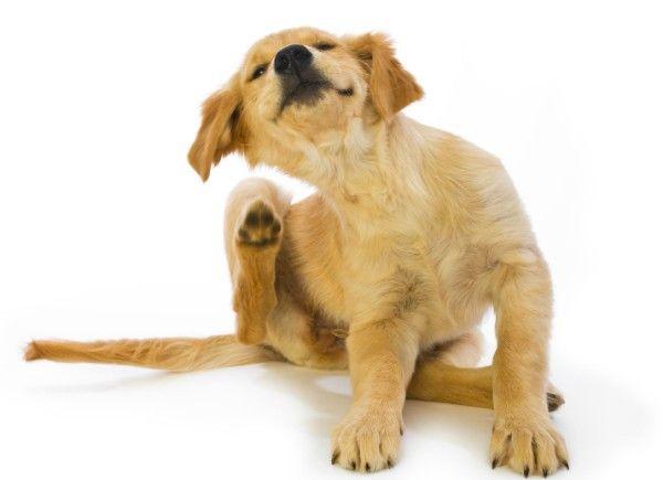 Blší dermatitída u psov: príznaky, diagnostika, liečba