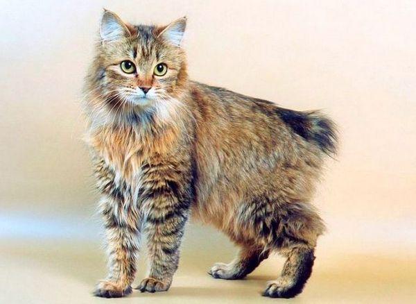 Bobtail kuril (foto): ruská mačka s krátkym chvostom