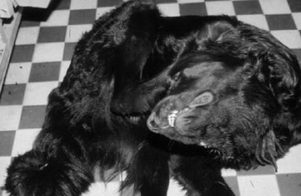хвороба ауески у собак