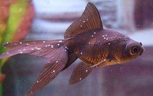 Болести на аквариумните риби: сортове и лечение