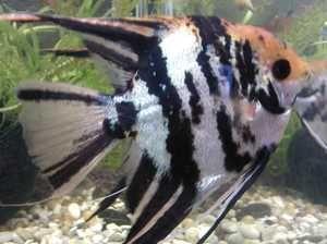 Болести на аквариумните риби: външни признаци, лечение и снимка
