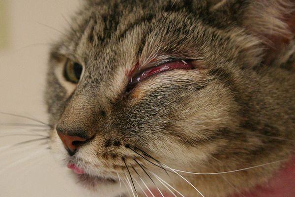 Ochorenia očí u mačiek a mačiek