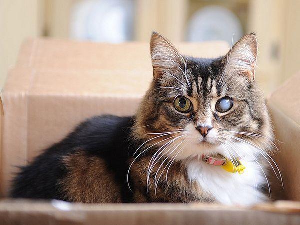 Катаракта у кішки