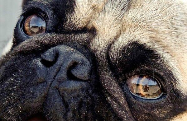 Ochorenia očí u psov: príznaky a liečba rôznych foriem chorôb