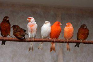 Болест на канарците: симптоми и лечение