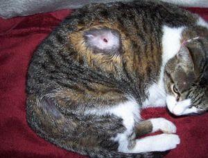 Опис шкірних захворювань кішок, причин і симптомів