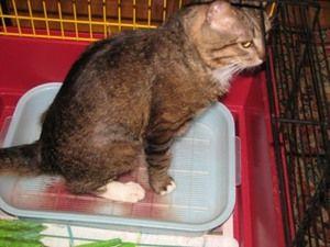 Причини і симптоми захворювання котів на сечокам`яну хворобу