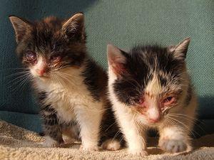 Опис інфекційних вірусних захворювань кішок і кошенят