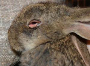 Лікування хвороб кроликів