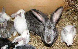 У чому особливість лікування кроликів