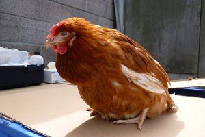 Болести на пилетата и аспекти на тяхното лечение