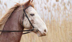 Болести на конете и тяхното лечение