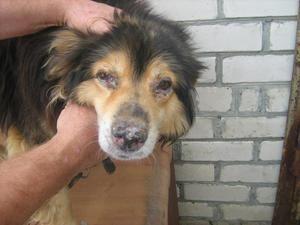 Чума у собак-симптоми