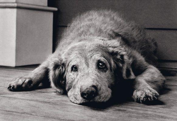 Болести на стари кучета