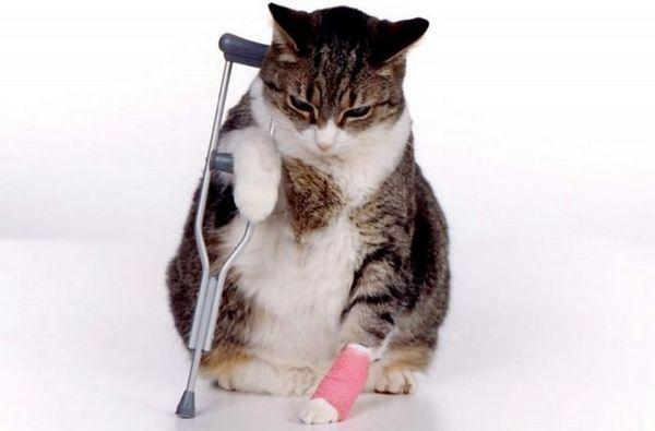 Choroby kĺbov u mačiek: príčiny, príznaky, liečba