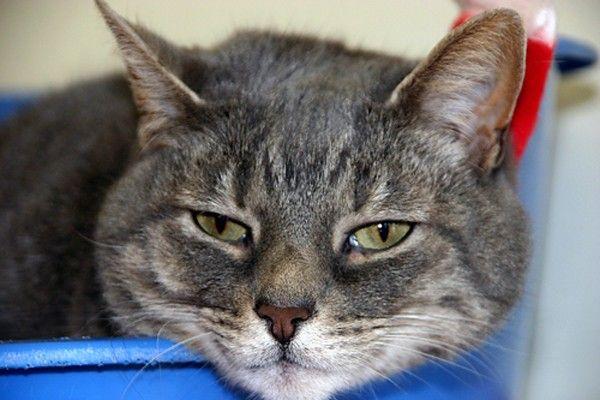 Choroby žalúdka u mačiek: bežné príznaky a diagnostika chorôb