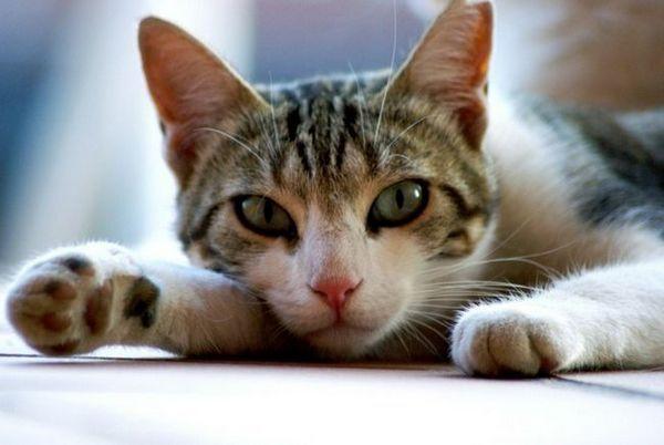 Gastrointestinálne ochorenia u mačiek: hlavné príznaky chorôb, liečba a prevencia