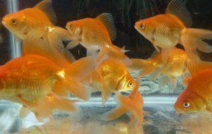 Болести на златните рибки и тяхното лечение