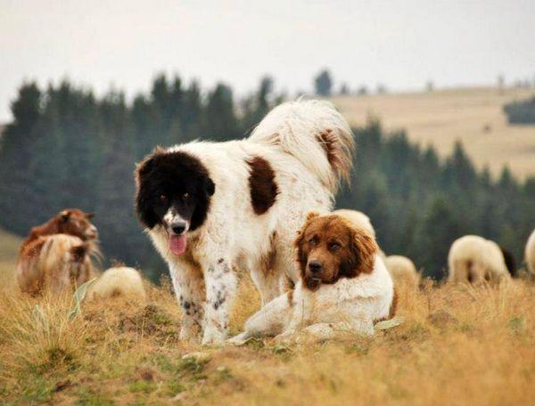 дві болгарські вівчарки