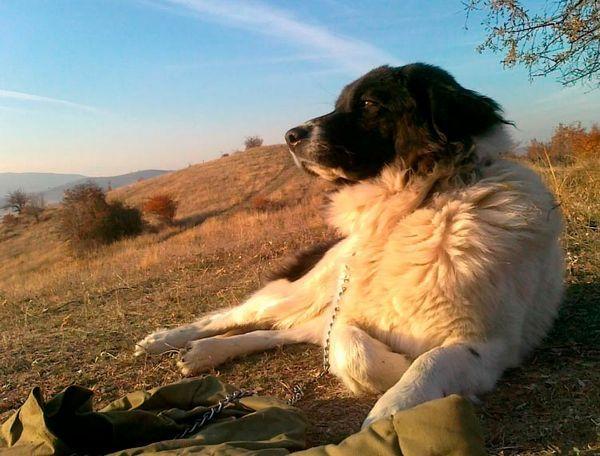 болгарська вівчарка на випасі