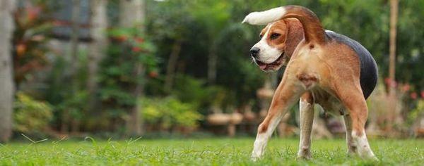 Bolia psy počas estru bolesti žalúdka?