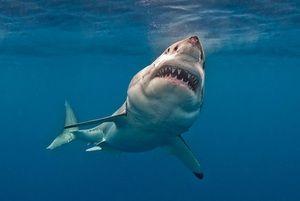 Vlastnosti veľkého bieleho žraloka