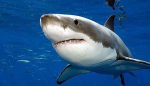 Popis veľkého bieleho žraloka karcharodona