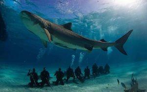 Váha a dĺžka veľkých bielych žralokov