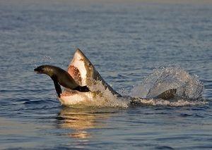 Strava a stravovacie návyky veľkých bielych žralokov