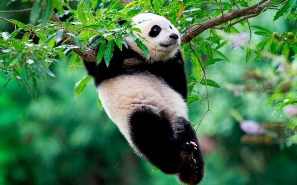 Панда висить на гілці