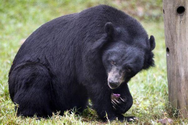 Чорний азіатський ведмідь