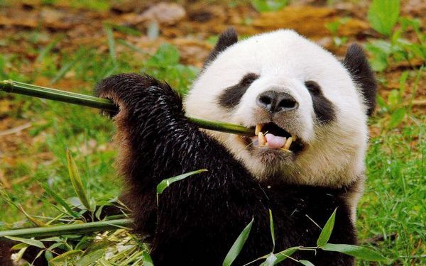 Панда гризе бамбук