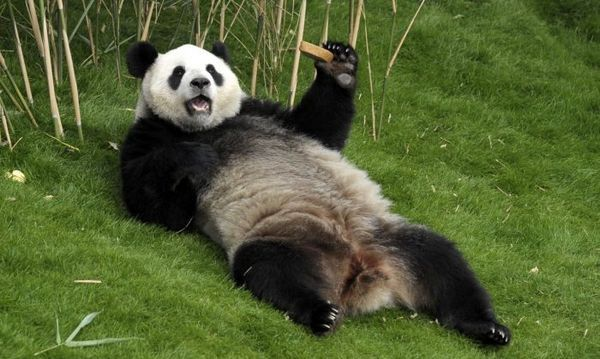 Панда лежить на спині