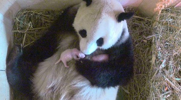 Новонароджені панди з самкою