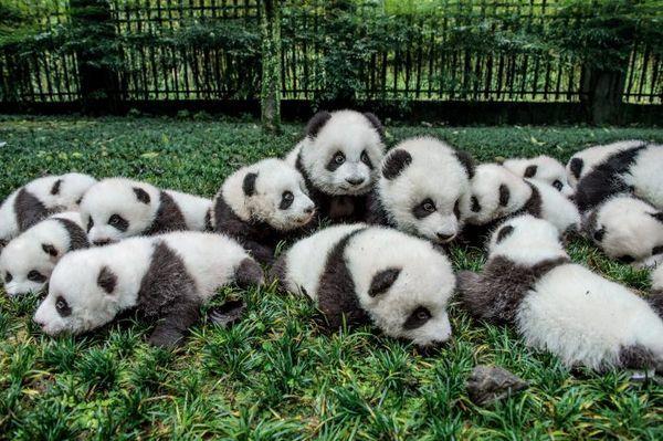 дитинчата панди