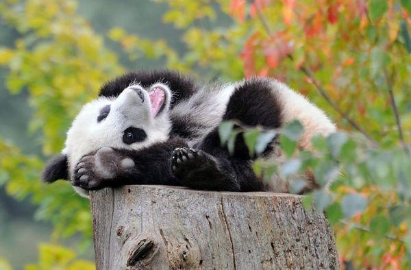 Велика панда на пні