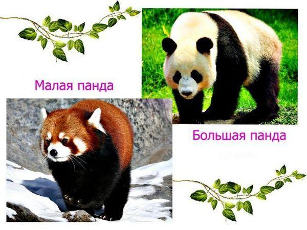 Панда велика і мала