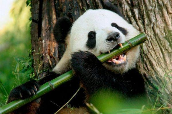 Велика панда їсть бамбук