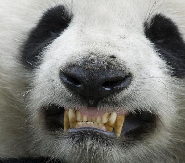 зуби панди