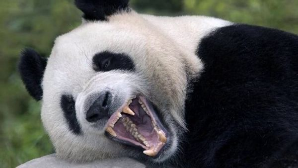 Панда з відкритою пащею