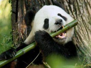 Panda veľká alebo medveď bambus