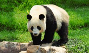 Як і інші представники ведмежих панди мають масивне статура