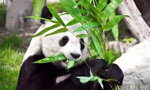 Основний раціон панди - бамбук, хоча її предки були м`ясоїдними