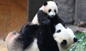 Велика панда піклується про дитинчат до 18 місяців