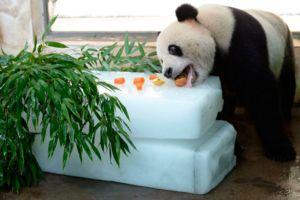 Панда їсть не тільки бамбук, в раціон можуть входити найрізноманітніші продукти