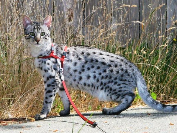 Кішка савана в повідку для вигулу