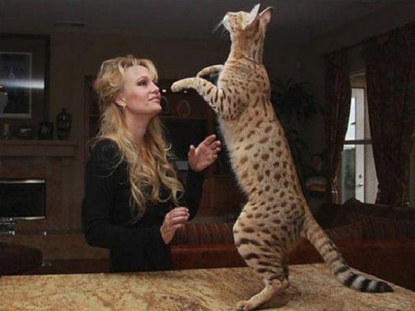 кішка савана