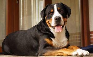 Як виглядає собака Зенненхунд