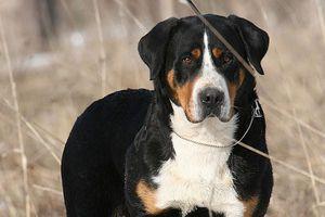 Собаки породи Зенненхунд
